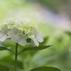 長居植物園 紫陽花