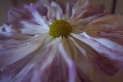 相楽園 菊