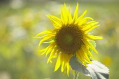 万博記念公園 向日葵