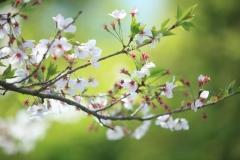 '06 桜2