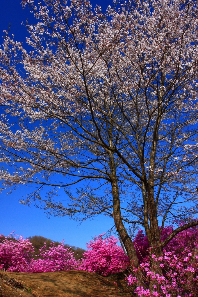 瑞岩寺・三葉躑躅と桜