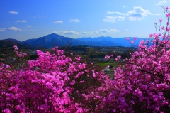 瑞岩寺三葉躑躅と武甲山