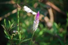 竹富島で撮影した花