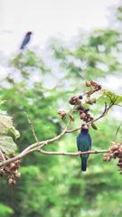 なつの青い鳥