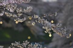 桜の宴 2015