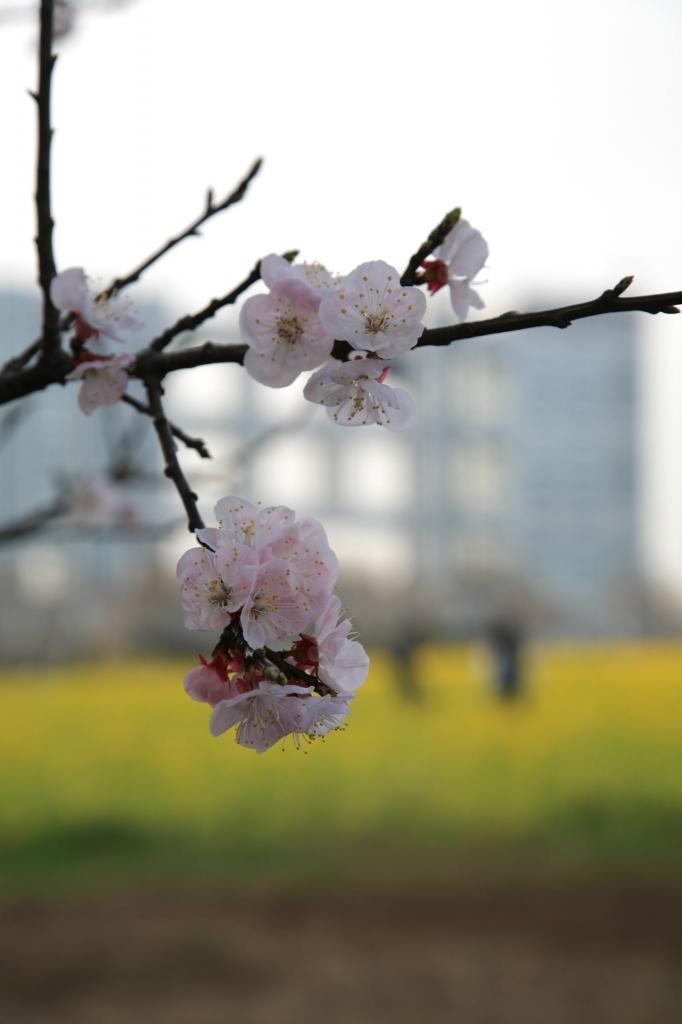 桜と菜の花とフジテレビ