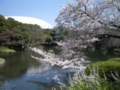 東京ドームを望んで桜