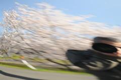おっさんと桜