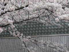 附属病院構内の桜-06