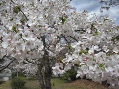 附属病院構内の桜-04