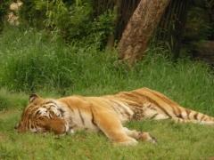 昼寝する虎