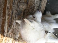 横手山の山頂の犬(3代目?)
