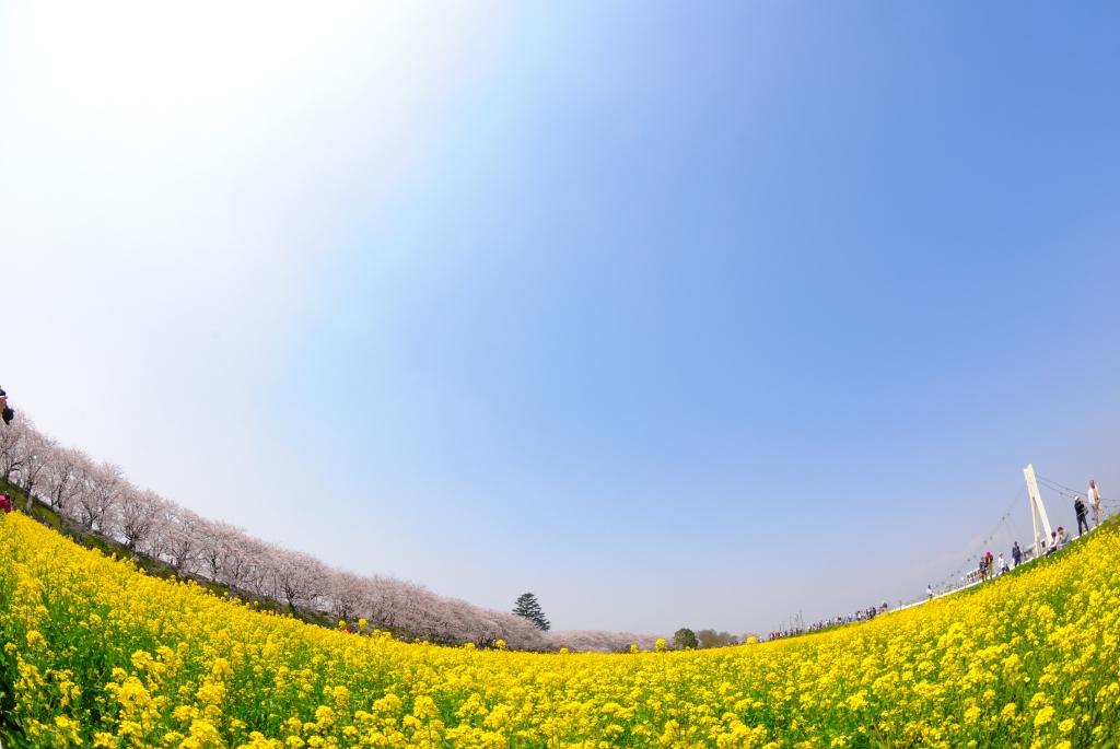 広がる菜の花