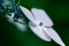 夢・紫陽花