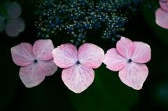 可憐・紫陽花