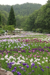 播州山崎 花菖蒲園