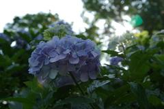 麻綿原高原の紫陽花