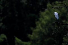 孤高の人(鳥)