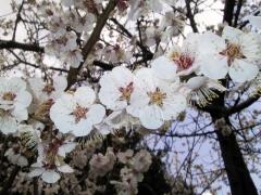 池田動物園の桜
