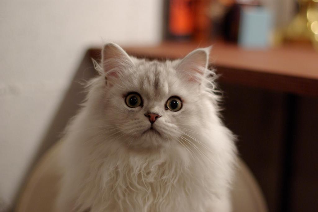 猫カフェ「クラウドナイン」の猫