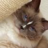 猫カフェ「あまえんぼう」の猫