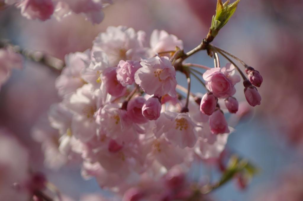 明日は咲こうか