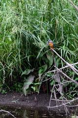 カワセミという名の鳥