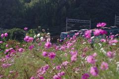 秋桜トレイン