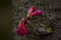 開花を待つ寒緋桜