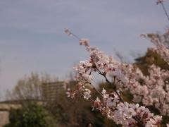 風景にとけ込む桜