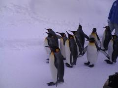 キングペンギンと飼育員の方