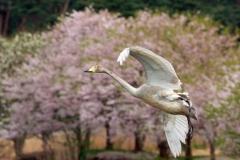 桜とともに