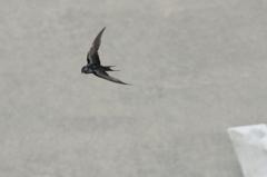 ツバメ_3 幼鳥の飛翔