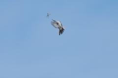 セグロ、トンボを空中捕獲 -1