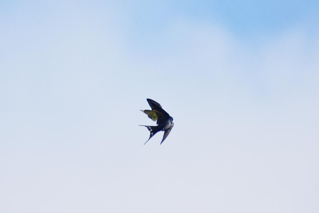 ツバメの空中給餌-2  「はいっ!」