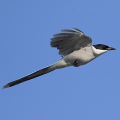 60D で飛ぶオナガ