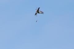 セグロ、トンボを空中捕獲 -2、空中1回転した珍しい瞬間