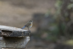 尾羽フリフリ