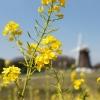 菜の花 - オランダ風 -