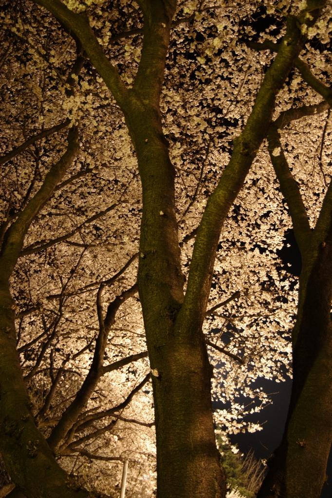 近所の夜桜