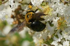 2759t ハチ