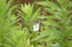 0525t トンボが蝶を