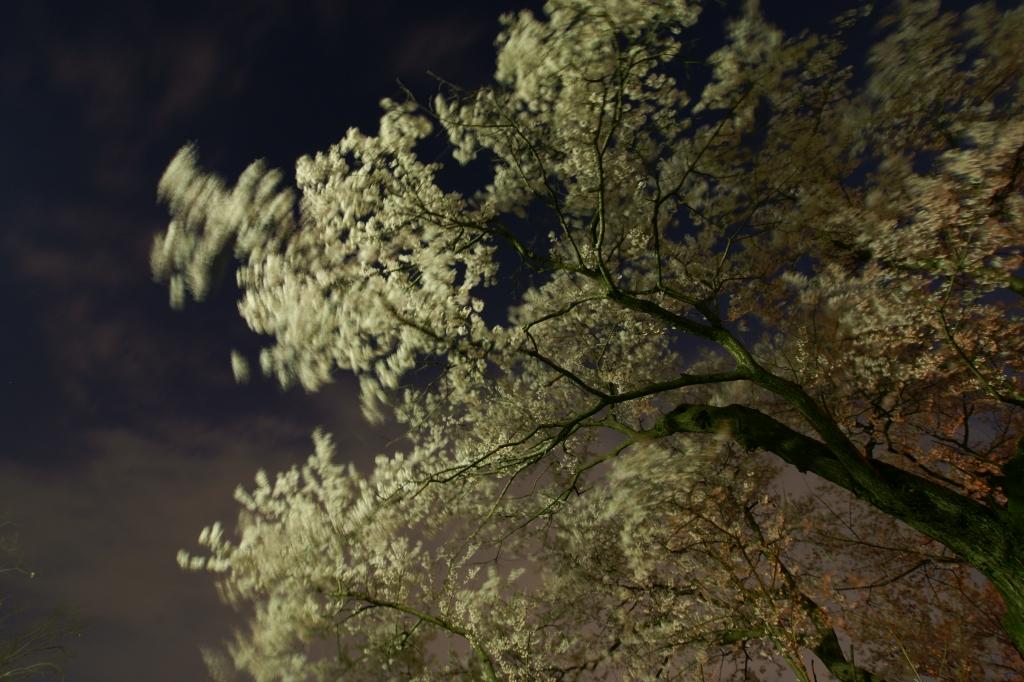夜桜 広角