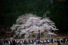 淡墨桜2011