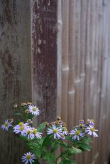 キク科らしき花