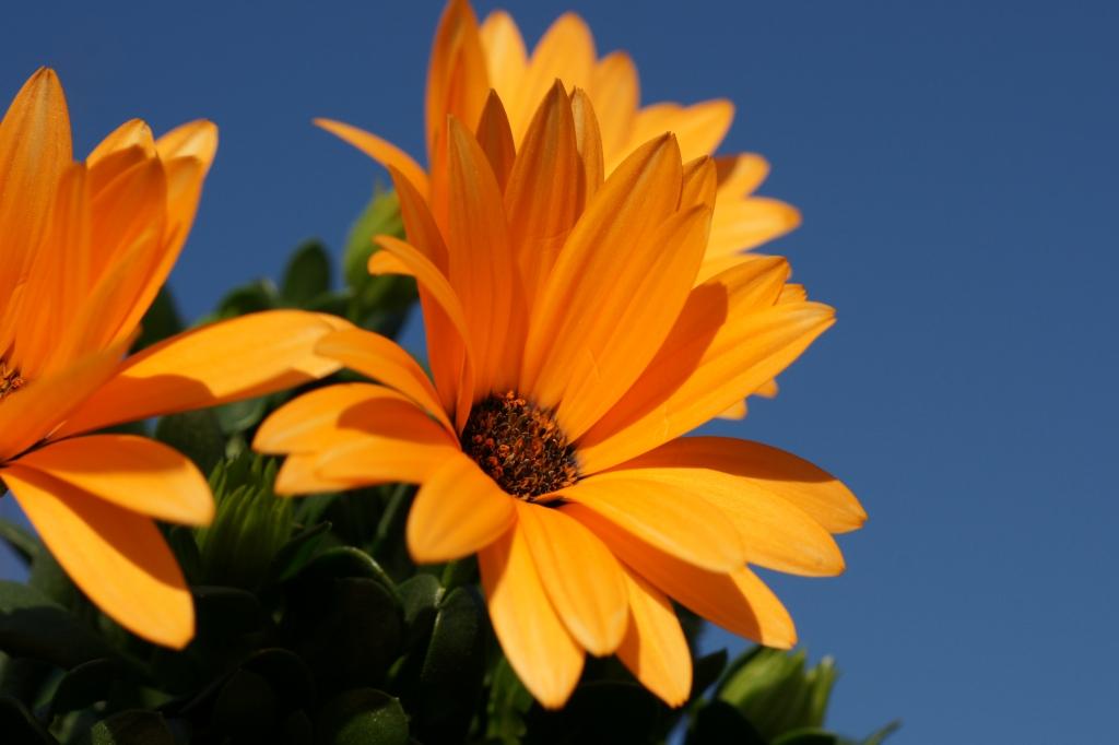 シナバー花