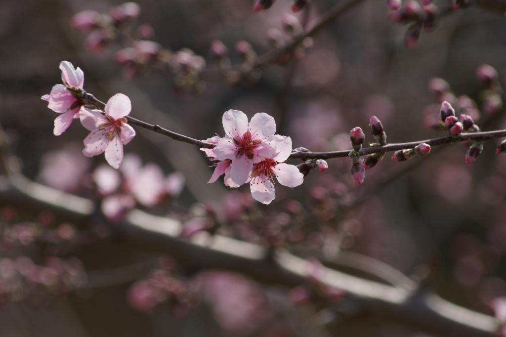 咲き始めた桃の花
