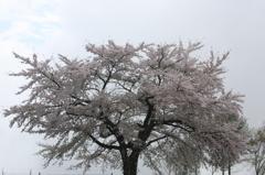グレーのキャンパスに咲くサクラ