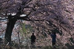 ヒカリと桜と湖と。