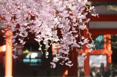 桜~高野山にて